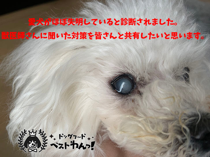 愛犬がほぼ失明の白内障になってしまったので対策と予防方法を獣医師に詳しく聞きました。
